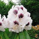 Rhododendron 'Sappho' - Find Azleas,Camellias,Hydrangea and Rhododendrons at Loder Plants